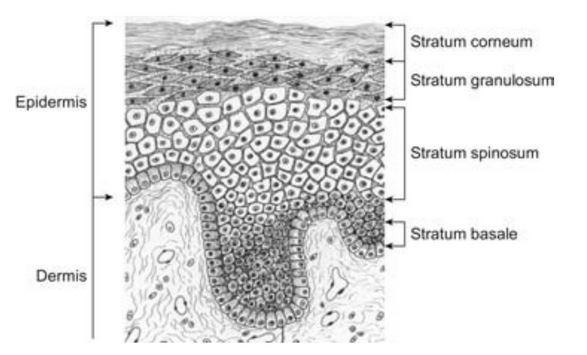 intercellular lipids of skin